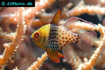 Pajama cardinalfish for Community saltwater fish