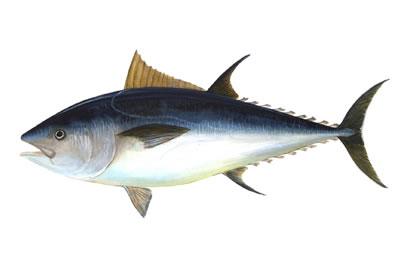 bluefin tuna Swim with bluefin Tuna