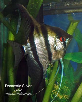 Angelfish Genetics Types Of Angelfish