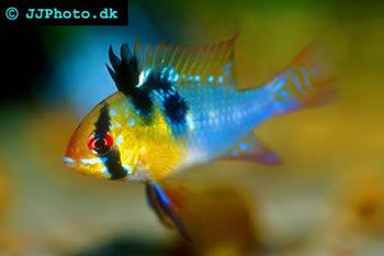 German Blue Ram Microgeophagus Ramirezi