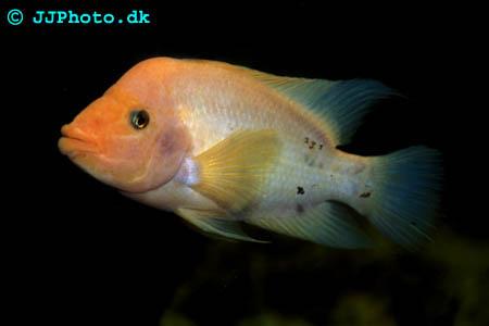 Amphilophus labiatus - Red Devil cichlid picture