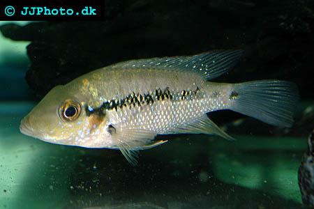 Amphilophus robertsoni - Turquoise cichlid picture