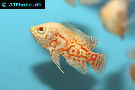 Albino Astronotus ocellatus - Albino Oscar picture