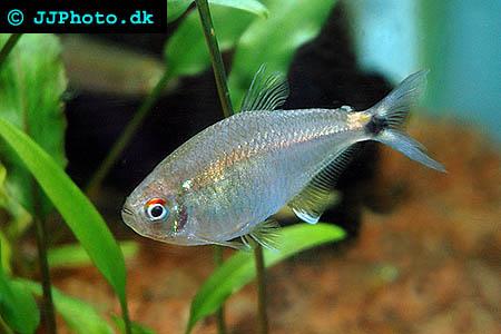Astyanax bimaculatus picture