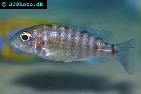 Aulonocara  baenschi  female