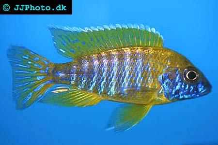 Picture Aulonocara baenschi male