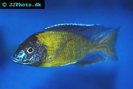 Aulonocara stuartgranti hai reef picture