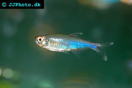 Boehlkea fredcochui - Cochu's Blue Tetra