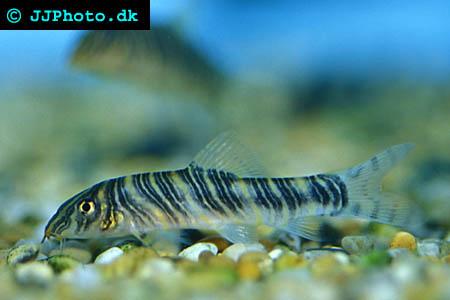 Botia striata - Zebra loach picture