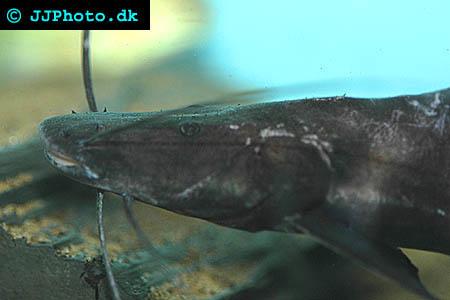 Brachyplatystoma juruense - banded shovelnose cat picture
