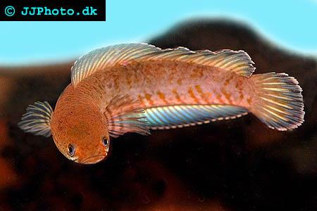 Rainbow snakehead ( Channa bleheri) picture