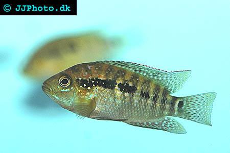 Firemouth Cichlid Juvenile Jack Dempsey Cichlid -...