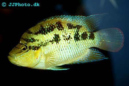 Female Cichlasoma salvini - Sieve cichlid picture