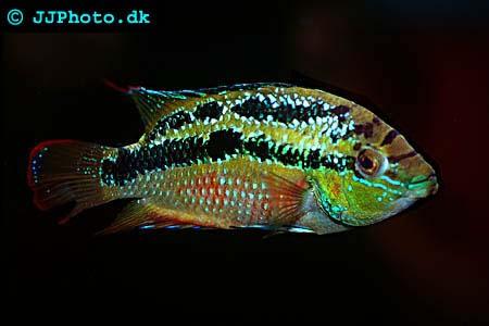 Golden Snakehead - Cichlasoma salvini picture