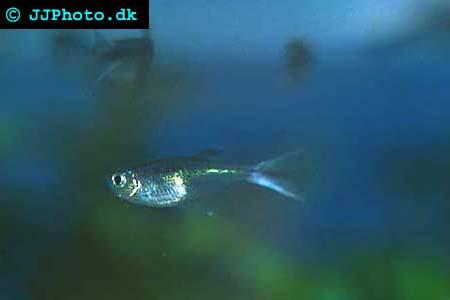 Corynopoma riisei - Swordtail Characin picture