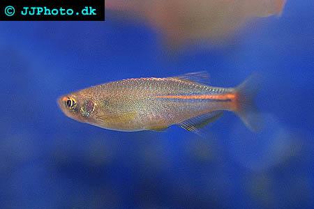 Danio albolineatus - Pearl Danio picture
