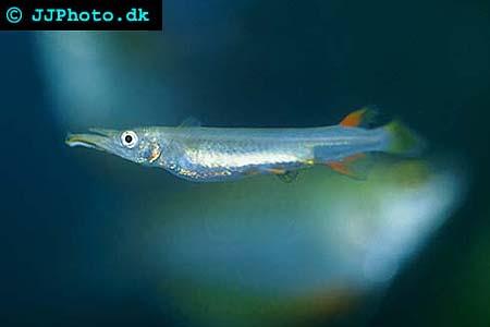 Dermogenys pusilla - Halfbeak picture