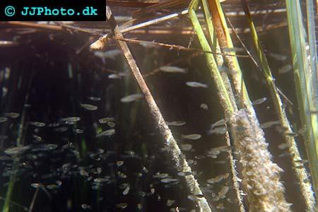 Western Mosquitofish - Gambusia affinis picture