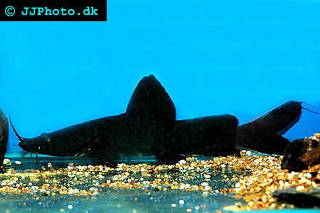 Hemibagrus wyckii - black devil catfish picture