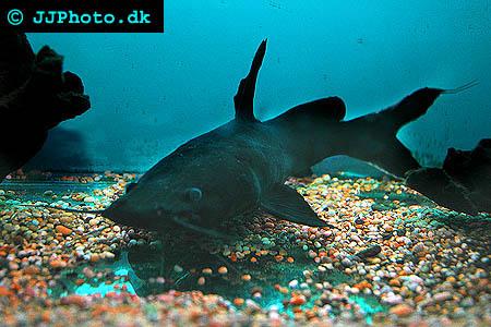 black devil catfish - Hemibagrus wyckii picture