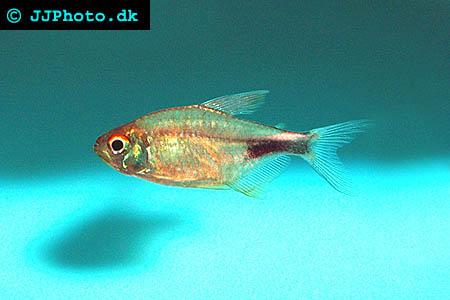 Hemigrammus pulcher -  Pretty Tetra picture