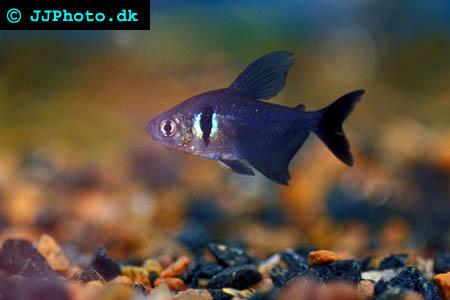 Hyphessobrycon  megalopterus - Black phantom tetra