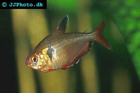 Hyphessobrycon serpae - Serpae Tetra picture