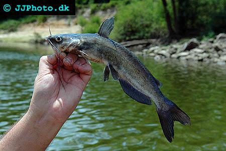 ictalurus furcatus 1 Virginia catfish boom