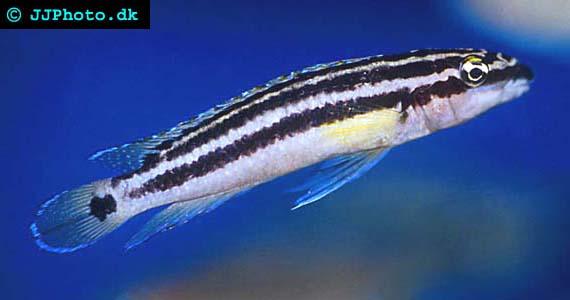 """Julidochromis"