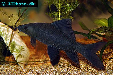 Black Shark – labeo Chrysophekadion