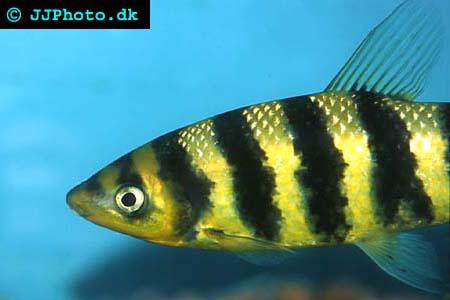 leporinus fasciatus picture