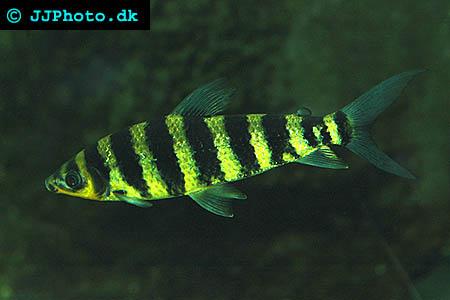 Black banded leporinus - Leporinus fasciatus picture