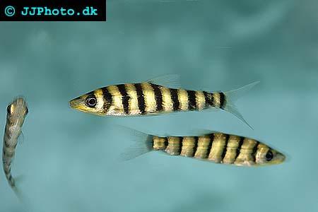 leporinus - leporinus fasciatus picture