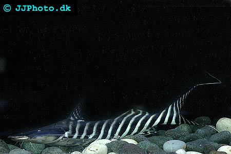 Merodontotus tigrinus  - Zebra Shovelnose, Tigrinus catfish picture