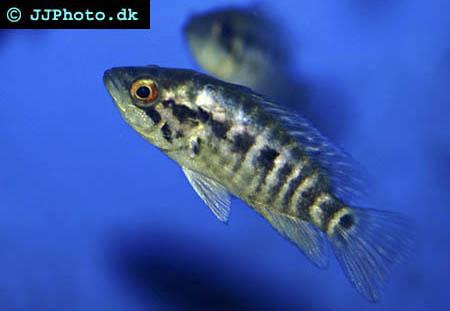 Juvenile parachromis dovii picture