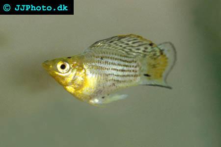 another male poecilia latipinna - Sailfin Molly