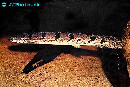 Polypterus delhezi - Armoured bichir, banded bichir picture