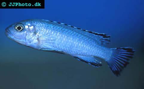 Powder Blue cichlid - Pseudotropheus socolofi picture
