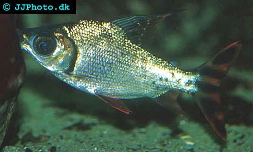 Semaprochilodus taeniurus - Silver Prochilodus picture