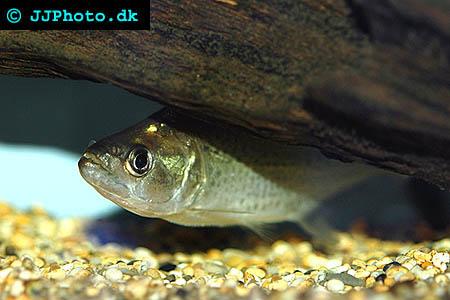 Pike Piranha - Serrasalmus elongatus picture