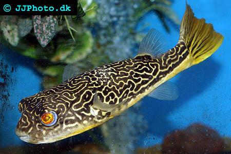 tetraodon mbu puffer fish picture
