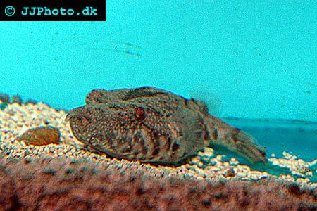 Tetraodon suvattii - Arrowhead Puffer, Mekong Puffer picture