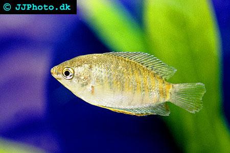 Trichogaster labiosus - Thick Lip Gourami picture