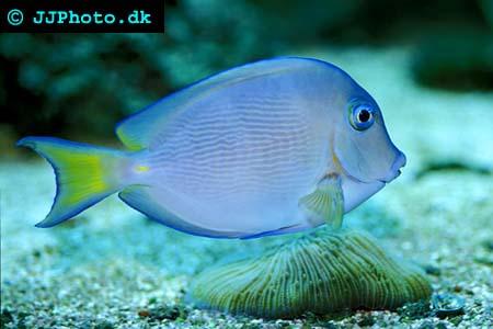 Acanthurus coeruleus, Blue tang surgeonfish picture