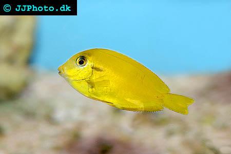 Acanthurus pyroferus, Chocolate surgeonfish picture