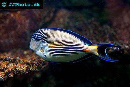 Sohal surgeonfish picture - Acanthurus sohal