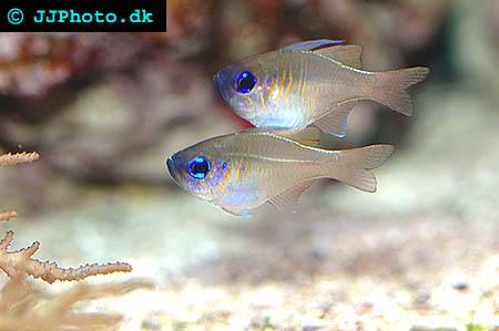 Threadfin cardinalfish picture