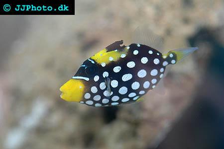 Balistoides conspicillum, Clown triggerfish picture