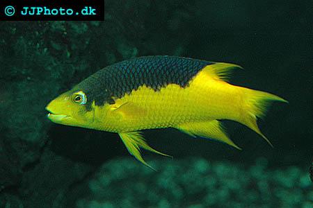 hogfish bodianus rufus