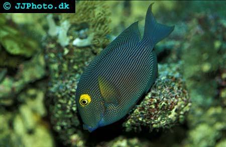 Ctenochaetus strigosus, Spotted surgeonfish picture